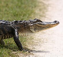 Alligator 5 by H & B Wildlife  Nature Photography
