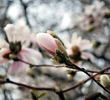 Springtime Blossoms by Tina Longwell