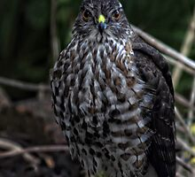 Sharp-Shinned Hawk by TeresaB