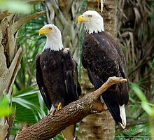 Bald Eagles in the Florida Jungle by Julie Everhart