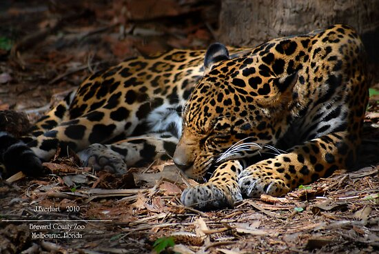 Jaguar Napping by Julie Everhart