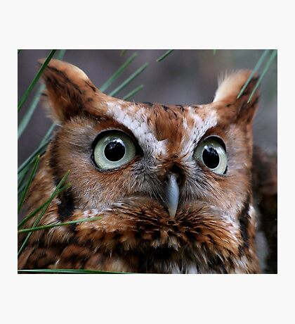 A Screech Owl Named Lana Photographic Print