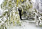 Old Tree and Heavy Wet Snow -- Bridgton,  Maine by T.J. Martin