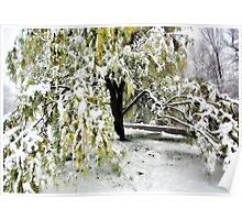 Old Tree and Heavy Wet Snow -- Bridgton,  Maine Poster