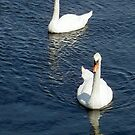 Swans by Stephen D. Miller