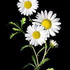 Daisies by Stephen D. Miller