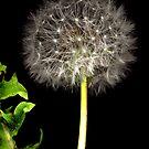 Dandelion by Stephen D. Miller