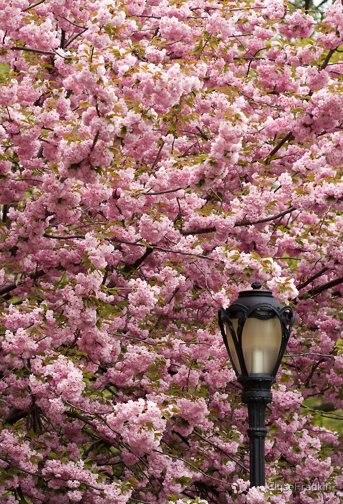 Cherry Blossoms Caressing a Street Lamp by ElyseFradkin