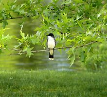 Eastern Kingbird by mooselandtours