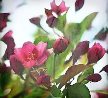 Crab Apple Blooming by moonwillow