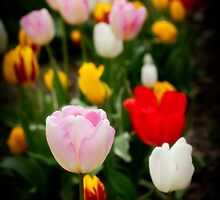 Among the tulips by Jodi Morgan