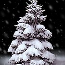 Snow Covered Spruce by Stephen D. Miller