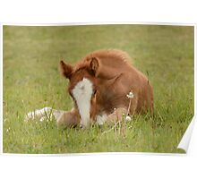 Spring Foal Poster