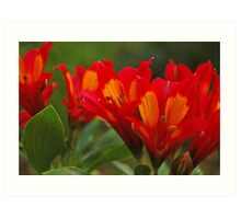 Red Alstroemeria Art Print