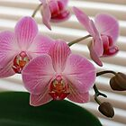 Orchids by Kimberly Johnson