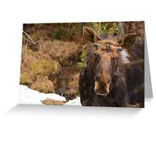 Spring Bull Moose Greeting Card
