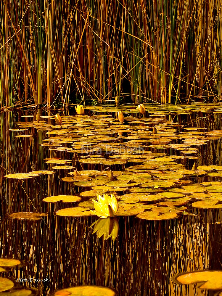 The Warmth in the Pond of Waterlilies by Nira Dabush