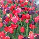 Tulips by schiabor