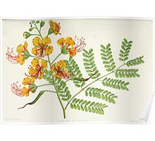 Familiar Flowers of India With Colored Plates, Lena Lowis 0033 Poincina Pulcherrima Poster