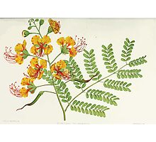 Familiar Flowers of India With Colored Plates, Lena Lowis 0033 Poincina Pulcherrima Photographic Print