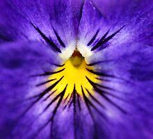 Bright Blue Pansy by Sheri Nye