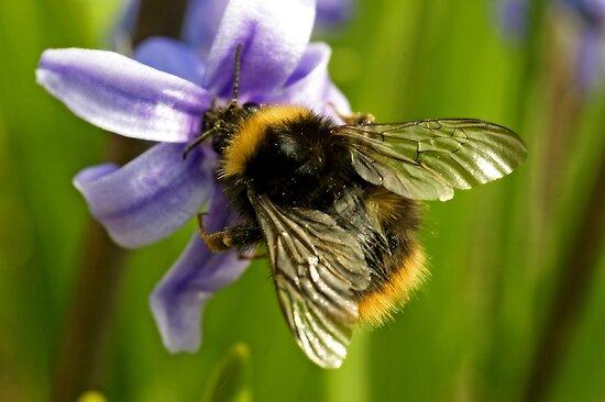 Bumblebee by Priska Wettstein
