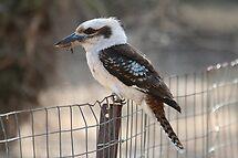 Kookaburra by Jenny Brice