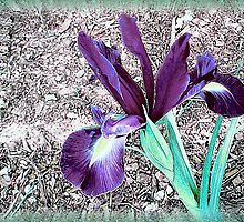 Beautful Iris by Elaine Game