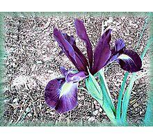 Beautful Iris Photographic Print