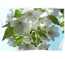 Apple Blossoms in NJ Poster
