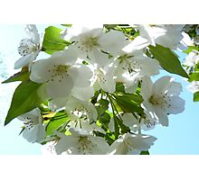 Apple Blossoms in NJ Photographic Print