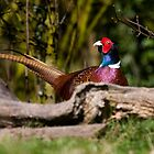 Male Pheasant by Carole Stevens
