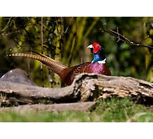 Male Pheasant Photographic Print
