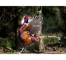 Flapping Pheasant Photographic Print