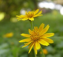 Tiny yellow flowers. by Annabella