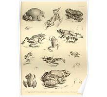 The Reptiles of British India by Albert C L G Gunther 1864 0531 Frogs Poster