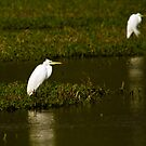 Great White Egret by BigD