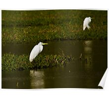 Great White Egret Poster