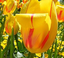 Hybrid tulip Yellow by joedog