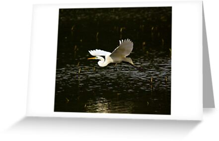 Great White Egret Fly By by BigD