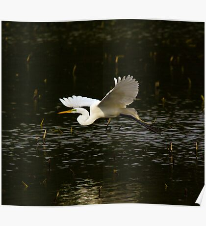 Great White Egret Fly By Poster
