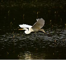 Great White Egret Fly By Photographic Print