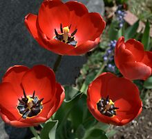 Brilliant Red Tulips by Sheri Nye