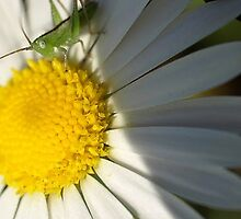 visiting - baby grasshopper on daisy by chrstnmk