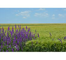 Wheat Fields with Purple Wild Flowers Photographic Print