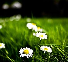 Daisies And Grass In The Spring Sunshine by OhBlee