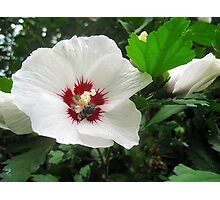 rose of sharon Photographic Print