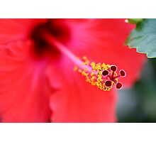Red Hibiscus 6 Photographic Print