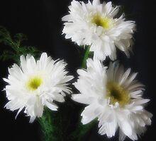 Gerbera Daisy 11 by Christopher Johnson