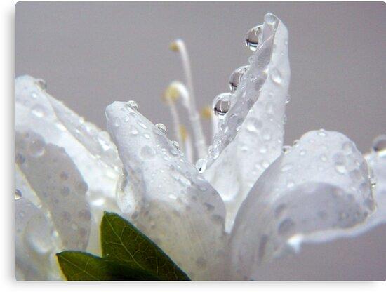 Raindrops on White Azalea by Gayle Dolinger
